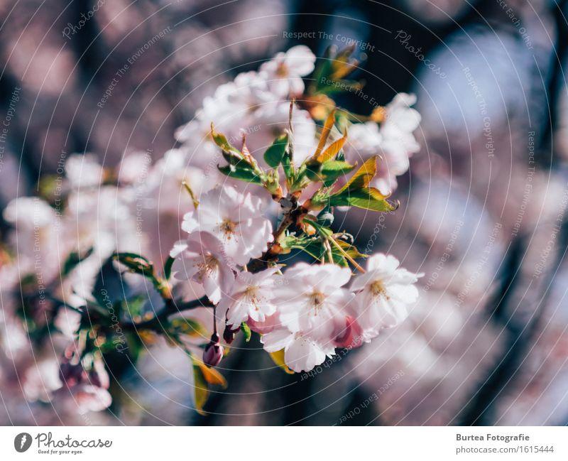 Cherry Blossom Natur Pflanze Frühling Baum Blume Zierkirsche Garten schön Wärme mehrfarbig grün rosa Blüte Unschärfe Burtea Fotografie Farbfoto Außenaufnahme
