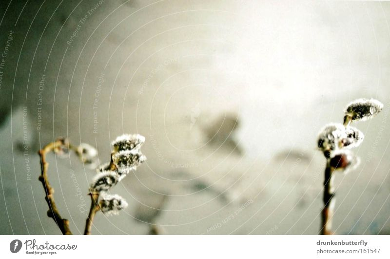 Frühling Natur Baum Wand Frühling Mauer Wachstum Ast Blühend Zweig Blütenknospen Weidenkätzchen
