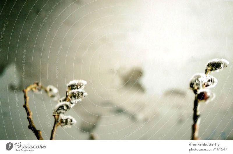 Frühling Natur Baum Zweig Weidenkätzchen Wand Mauer Ast Blühend Wachstum Blütenknospen
