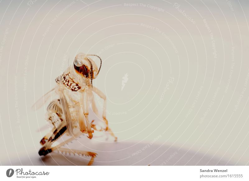 Heuschrecke Tier Insekt 1 füttern hocken hockend Skelett Textfreiraum rechts Außerirdischer Makroaufnahme Farbfoto Froschperspektive Zentralperspektive
