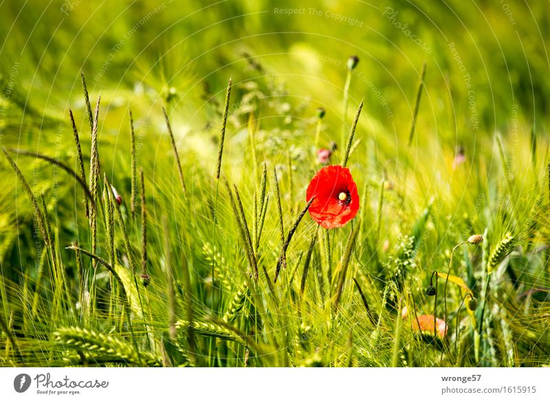 Farbtupfer Natur Pflanze schön grün Sommer Blume rot gelb natürlich Feld Schönes Wetter Mohn Kornfeld Nutzpflanze Grünpflanze Wildpflanze