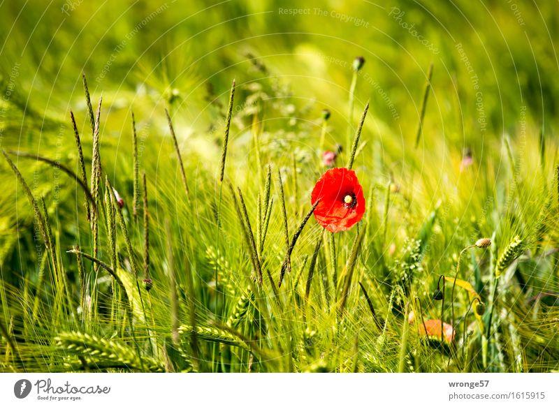 Farbtupfer Natur Pflanze Sommer Schönes Wetter Blume Grünpflanze Nutzpflanze Wildpflanze Mohn Mohnblüte Getreidefeld Kornfeld Feld natürlich schön gelb grün rot