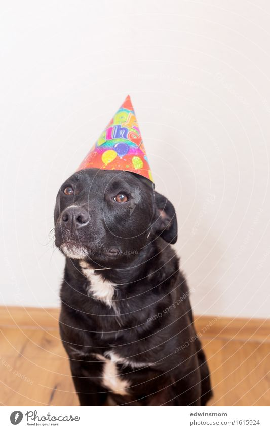 Party? Was? Jetzt? Hund weiß Tier Freude schwarz lustig Feste & Feiern wild Freizeit & Hobby Dekoration & Verzierung Geburtstag stehen warten weich Fell