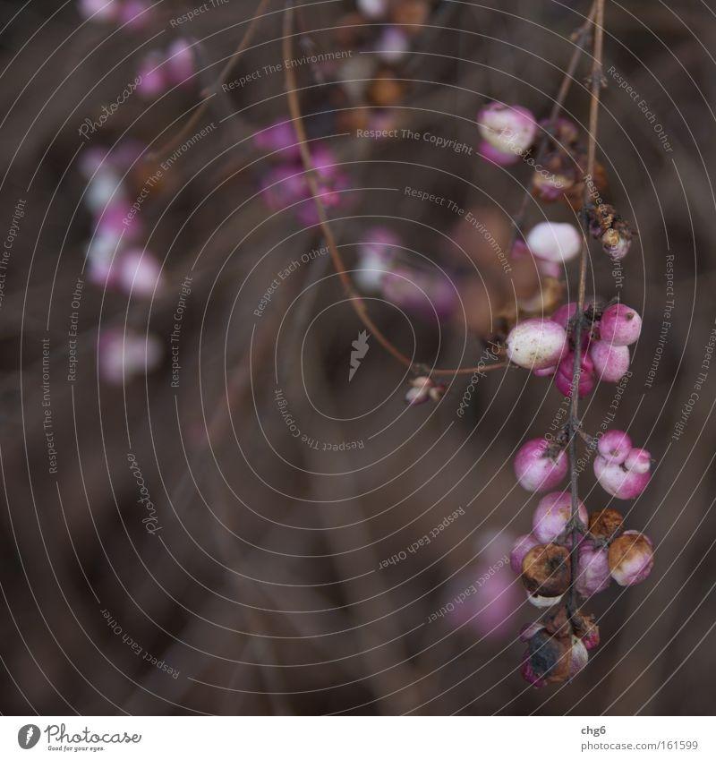 Reste vom letzten Jahr weiß Pflanze Blume Winter Frühling rosa Frucht Sträucher Zweig