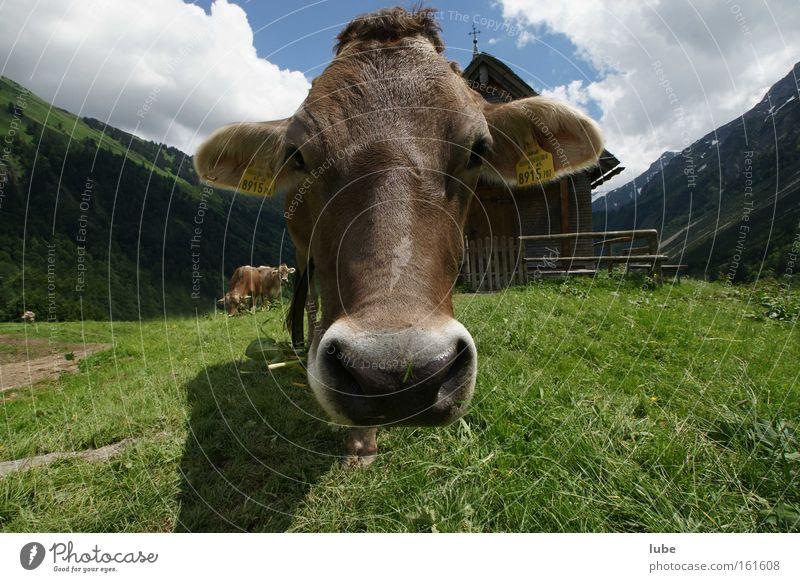 Kuh for you Vieh Landwirtschaft Rind Milchwirtschaft Elchkuh Milcherzeugnisse Säugetier braunvieh