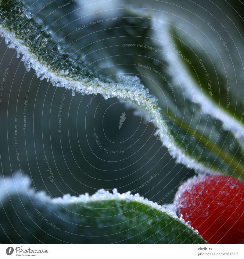 EisBeer in Sicht! Nahaufnahme Makroaufnahme Winter kalt Frost Raureif gefroren Beeren Ecke Am Rand Gemeiner Stechdorn Stechpalme Gift Ilex aquifolium chribier