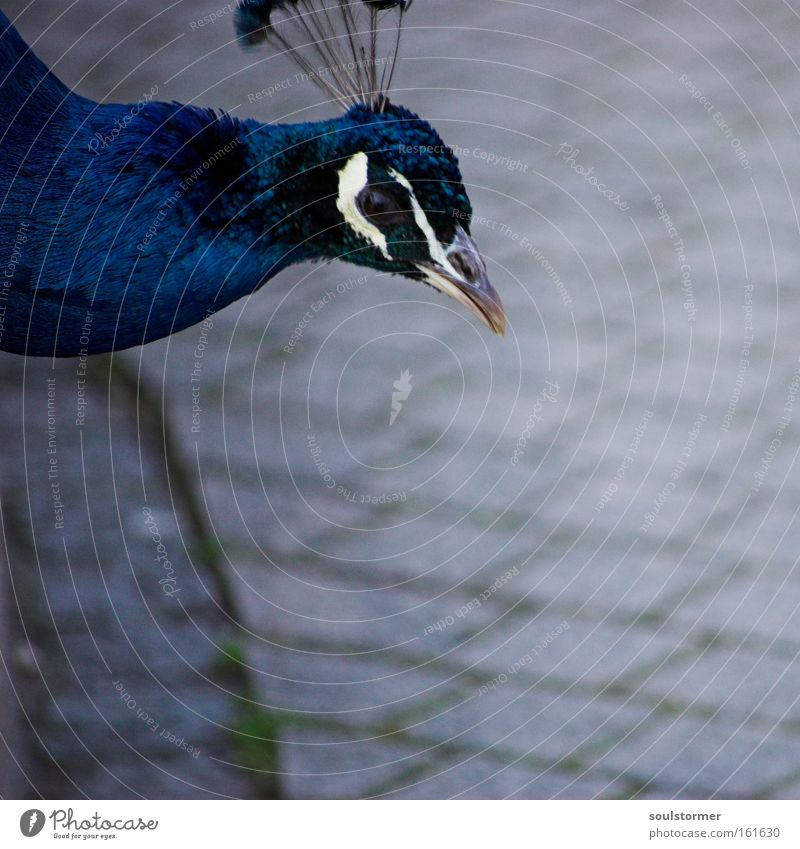 Gockel auffer Straße Stadt Straße Freiheit Stein Kopf Vogel außergewöhnlich fliegen Asphalt Urwald Verkehrswege Indien Straßenverkehr Lebensraum Tier Pfau