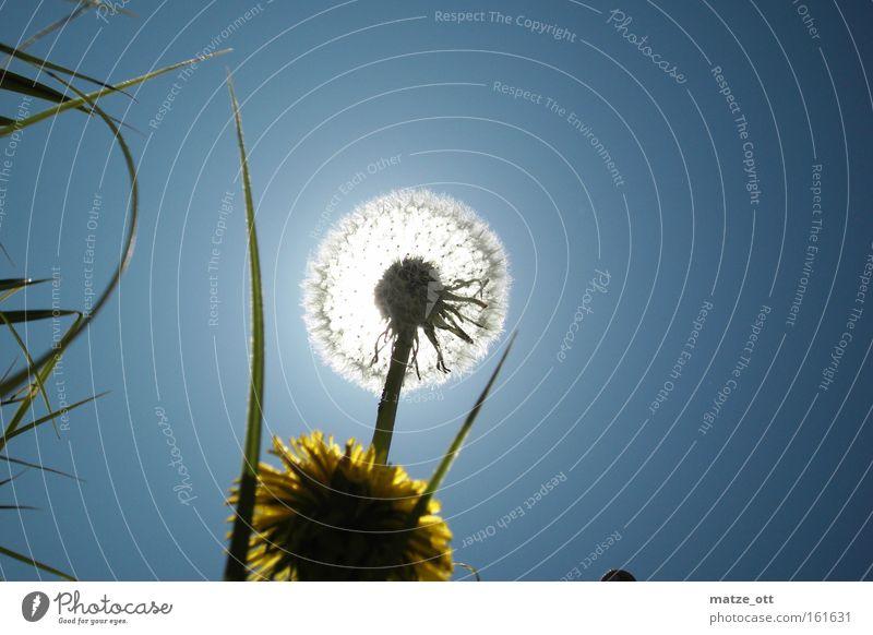 der Sonne entgegen Löwenzahn Himmel blau Gegenlicht Pflanze Natur gelb Blume Blüte Frühling Licht hell Makroaufnahme Nahaufnahme sky