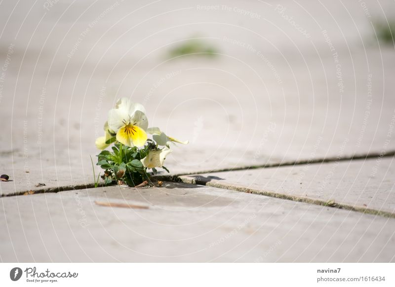 Hope Umwelt Pflanze Frühling Sommer Blüte Stiefmütterchen klein gelb Optimismus Kraft Willensstärke Hoffnung Einsamkeit Entschlossenheit Hornveilchen Lücke