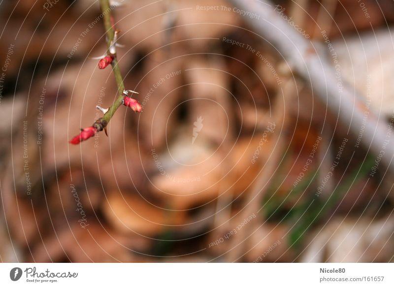zarte Knospen - spitze Dornen Frühling Park neu Rose Blühend zart Blütenknospen Blattknospe Dorn aufwachen Hundsrose Hagebutten Dornenbusch