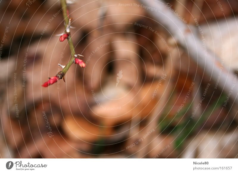 zarte Knospen - spitze Dornen Frühling Park neu Rose Blühend Blütenknospen Blattknospe aufwachen Hundsrose Hagebutten Dornenbusch