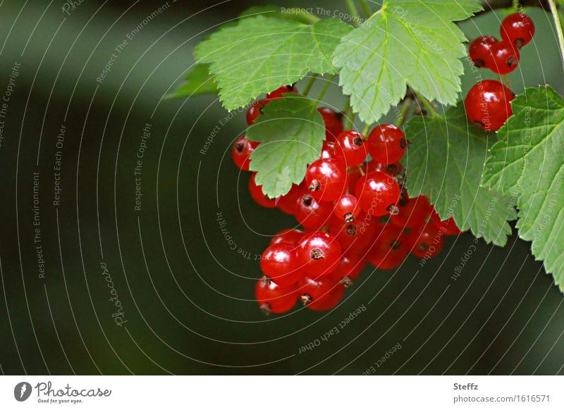 reife rote Johannisbeeren Beeren Frucht rote Beeren rote Früchte Johannisbeerstrauch Vitamin vegan Vitamin C vegetarisch Saisonfrüchte Juli frisch