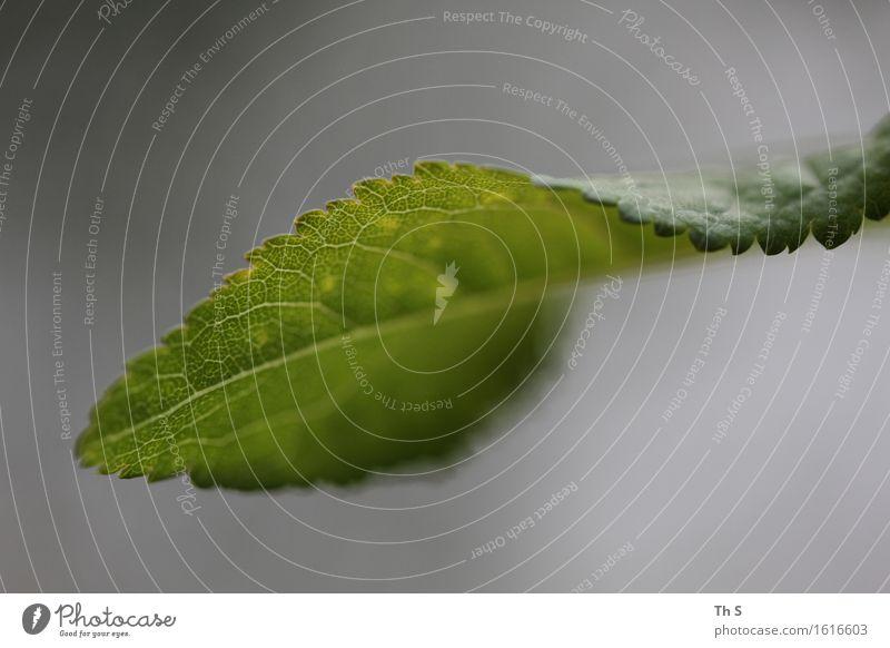 Blatt Natur Pflanze grün Sommer ruhig Frühling Bewegung natürlich grau Design elegant frisch authentisch ästhetisch Blühend