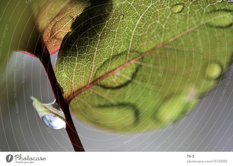 Regen Natur Pflanze Frühling Sommer Blatt Blühend ästhetisch authentisch einfach elegant frisch nass natürlich grau grün rot Gelassenheit geduldig ruhig