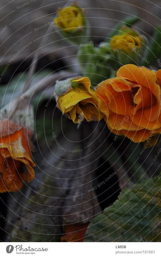 Vergängliche Jugend - I Blume Herbst Tod Blüte Frühling orange Trauer Vergänglichkeit Verzweiflung Abschied weinen Erinnerung Friedhof Souvenir getrocknet Beerdigung