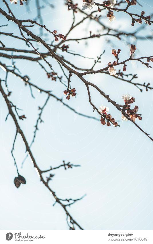 Blühender Aprikosenbaum auf Himmel Natur Pflanze blau weiß Baum Blume Blüte Garten hell rosa Blütenblatt