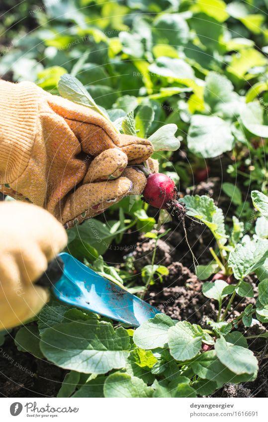 Radieschen im Garten pflücken. Gemüse Vegetarische Ernährung Sommer Gartenarbeit Frau Erwachsene Hand Natur Pflanze Erde Blatt Wachstum frisch grün rot
