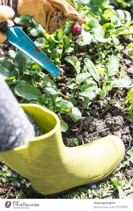 Radieschen im Garten pflücken Gemüse Vegetarische Ernährung Sommer Gartenarbeit Frau Erwachsene Hand Natur Pflanze Erde Blatt Wachstum frisch grün rot organisch