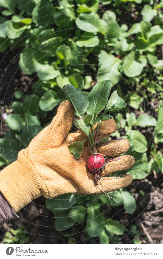 Frau Natur Pflanze grün Sommer Hand rot Blatt Erwachsene Garten Wachstum Erde frisch Gemüse Ernte Vegetarische Ernährung