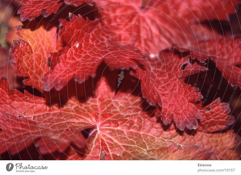 Herbststimmung 1 Natur rot Blatt