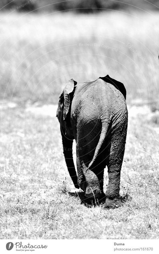 Allein Allein... Elefantenbaby Wildnis Safari Natur Landschaft Afrika Einsamkeit Maassai Mara Gras Savanne Steppe grau Rüssel Säugetier