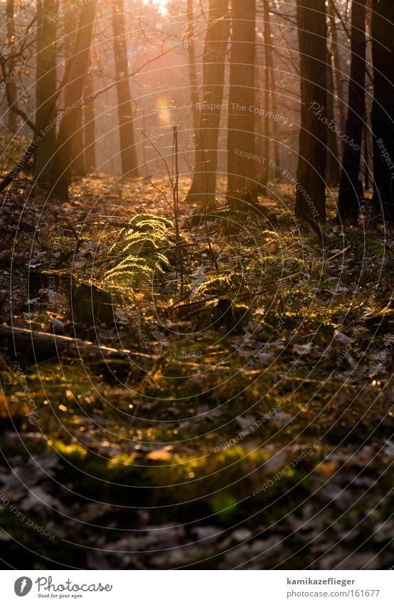 abendstimmung Wald Abend Gegenlicht Baumstamm Moos Ast Unterholz Blatt bemoost