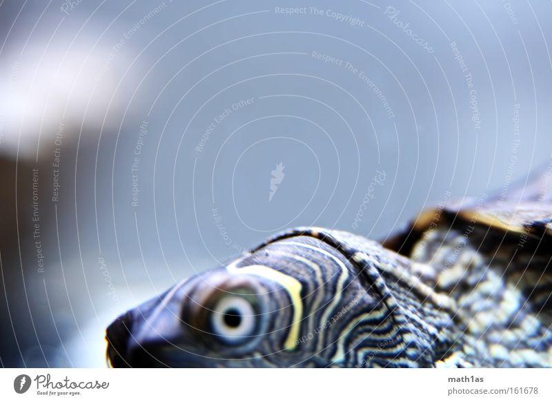 Schildkröte I Auge Haut Leder Schildkröte gepanzert Reptil