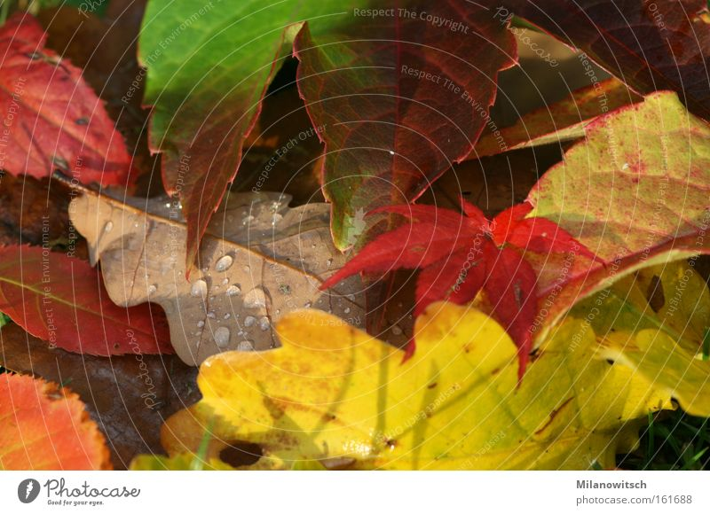 Schön bunt ruhig Natur Wassertropfen Herbst Wärme Blatt nass braun gelb gold rot Wein Eiche Farbfoto mehrfarbig Außenaufnahme Nahaufnahme Detailaufnahme