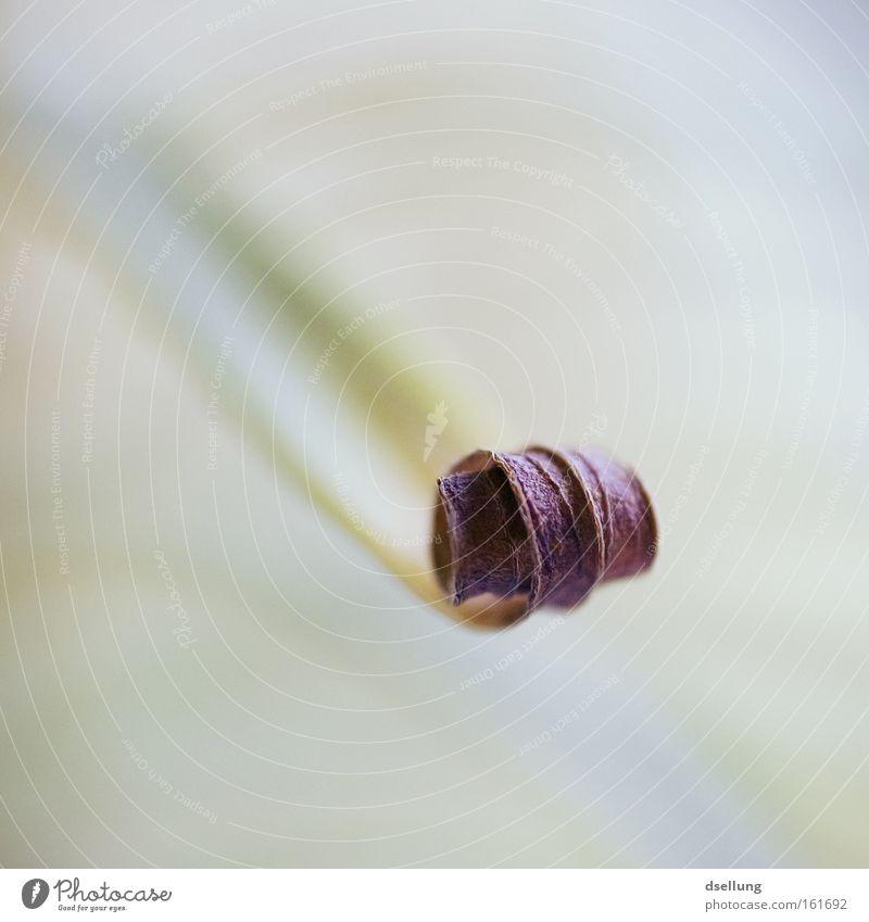 Frühlingsrolle Pflanze Rolle vertrocknet trocken durstig verdursten verdurstet Sommer Licht grün Blattgrün Dürre getrocknet Makroaufnahme Nahaufnahme röllchen