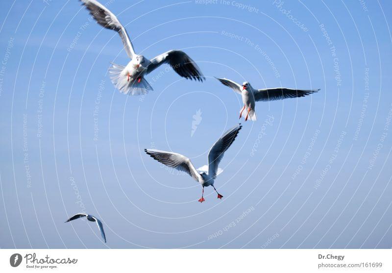 Satz Möwen isoliert auf blauem Himmel weiß fliegen Flügel Bewegung Manöver Luft Vogel Migration Natur Freiheit Leben Tierwelt