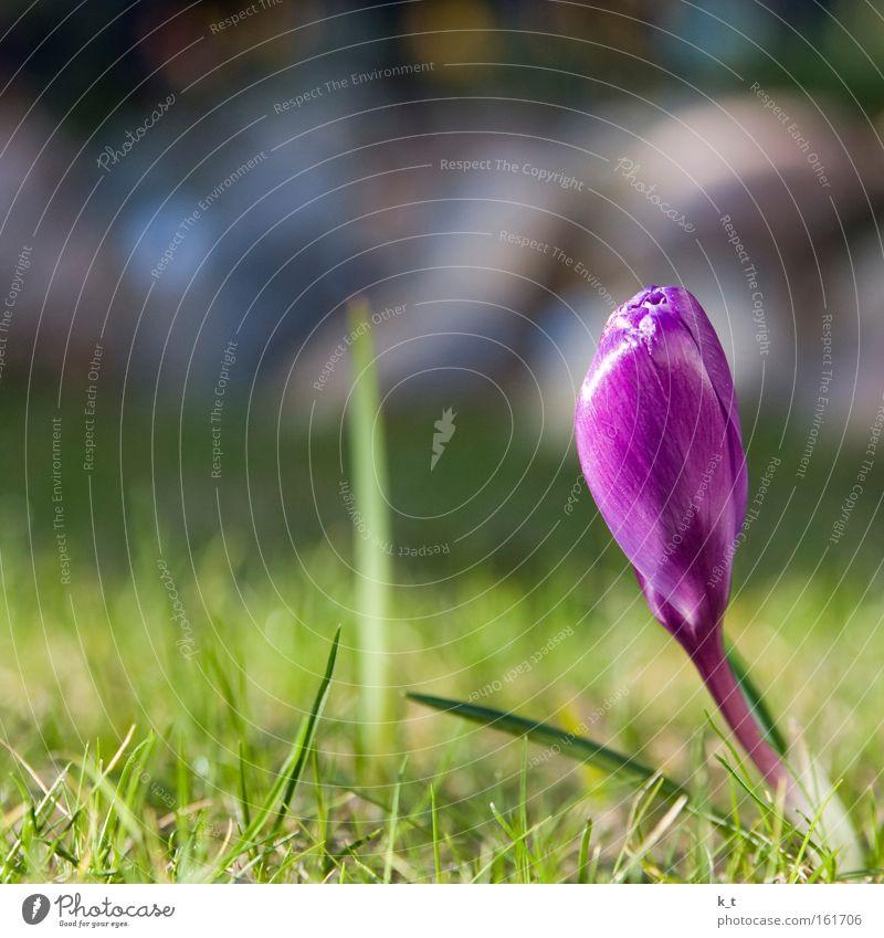 Frühlingsanfang Natur schön Blume grün Pflanze Farbe Leben Wiese Gras Beginn Hoffnung Wachstum nah violett Kitsch