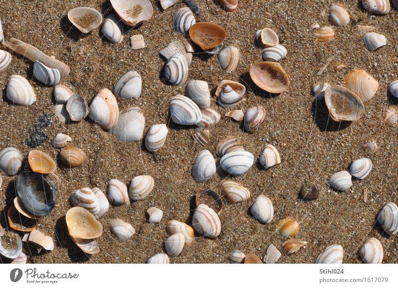 Muscheln Strand Meer Natur Tier Sand Küste Nordsee Totes Tier Tiergruppe beobachten nass natürlich braun Tod Fernweh Zufriedenheit chaotisch