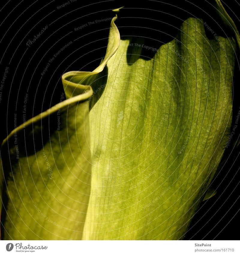 Grüne Calla weiß Blume grün Pflanze Blatt schwarz Blüte Park
