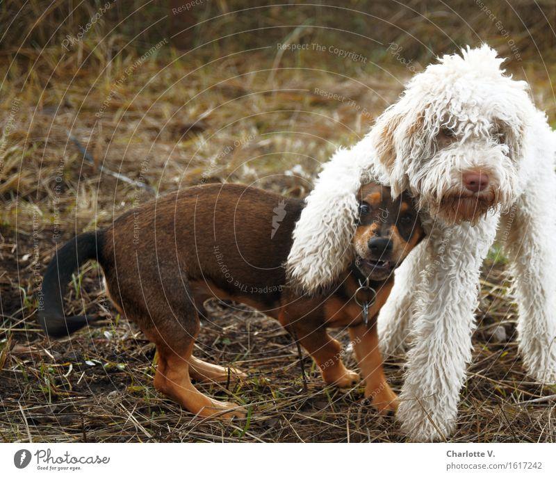 Ziemlich beste Freunde Hund weiß Tier Freude schwarz lustig Spielen braun Zusammensein Freundschaft stehen Lebensfreude niedlich Coolness Pause Neugier