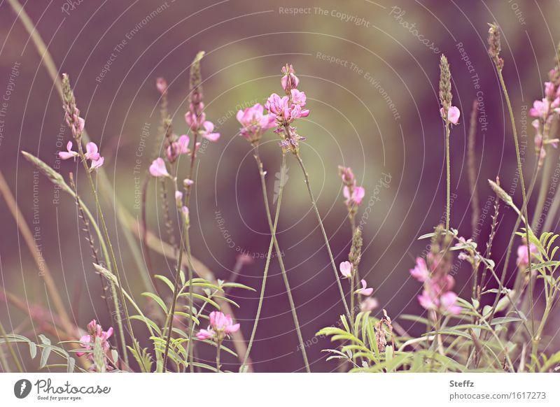 Wiesenblümchen Natur Pflanze grün Sommer Blume rosa Wachstum sommerlich Wildpflanze Blütenpflanze Wiesenblume Juli Sommertag hellgrün Sommergefühl