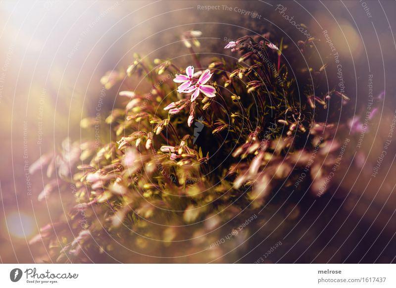 LICHTblick Natur Pflanze schön Sonne Blume Blatt Frühling Blüte Stil Garten Stimmung braun hell rosa glänzend Wachstum