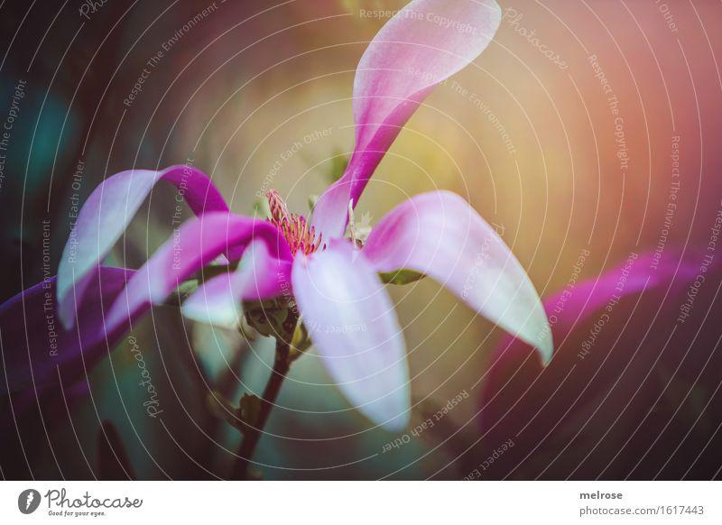 Magnolia Natur Pflanze schön Blume Blatt Frühling Blüte Stil Garten rosa Design träumen elegant leuchten gold Sträucher