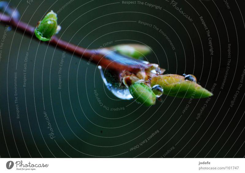 Frühlingsregen Ast Zweig Wassertropfen Pflanze Sträucher Natur Blase Blattknospe Wachstum gedeihen Makroaufnahme Nahaufnahme blättchen