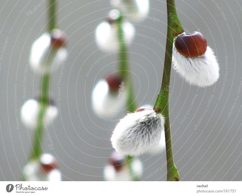 wollig weich Natur Pflanze Baum Frühling hell Wachstum zart rein Fell Blütenknospen Vorfreude sanft Weide kuschlig minimalistisch