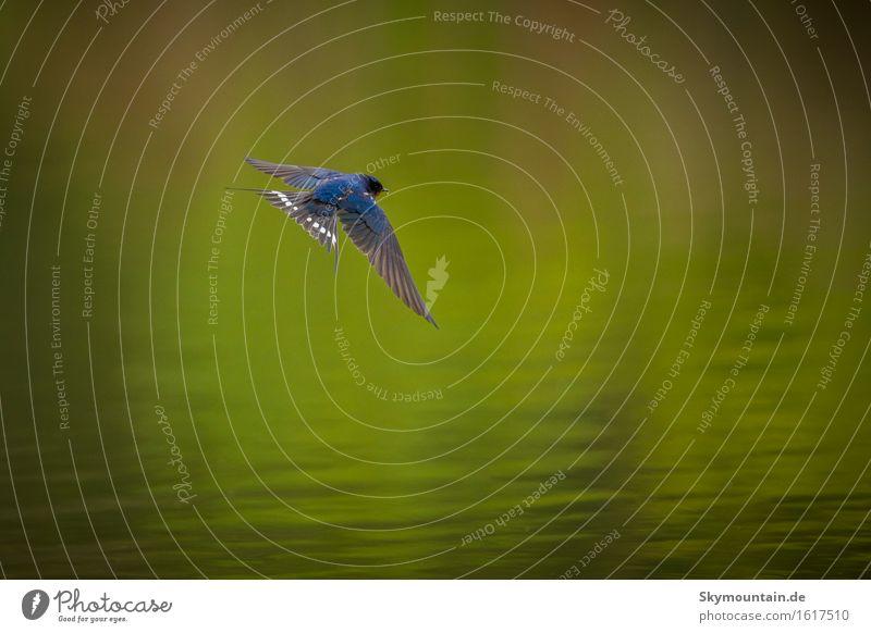 Rauchschwalbe Umwelt Natur Pflanze Tier Frühling Sommer Klima Wetter Schönes Wetter Küste Seeufer Flussufer Bach Wildtier Vogel Tiergesicht Flügel 1 blau grün