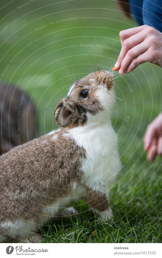 hopp Sunny Mädchen Hand Finger 1 Mensch 8-13 Jahre Kind Kindheit Haustier Tiergesicht Fell Pfote Hasenlöffel Zwergkaninchen Säugetiere Nagetiere Kunststückchen