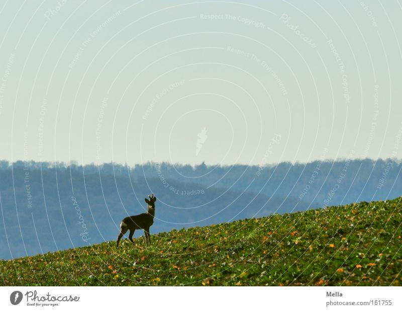 Bergauf Reh Wildtier frei stehen Wachsamkeit Blick aufwärts Feld Wald Frühling Säugetier Rehbock Neigung