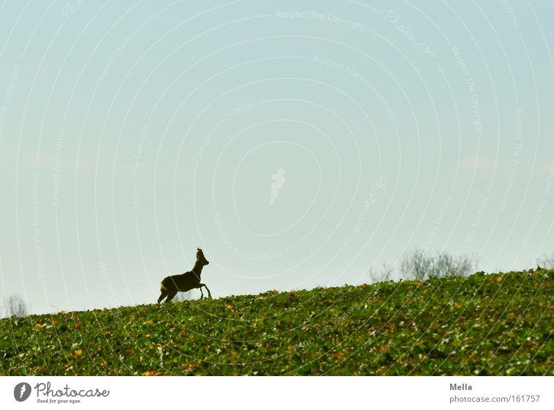 Und weg! Reh Wildtier laufen flüchten Flucht aufwärts Feld Frühling Säugetier Rehbock Neigung