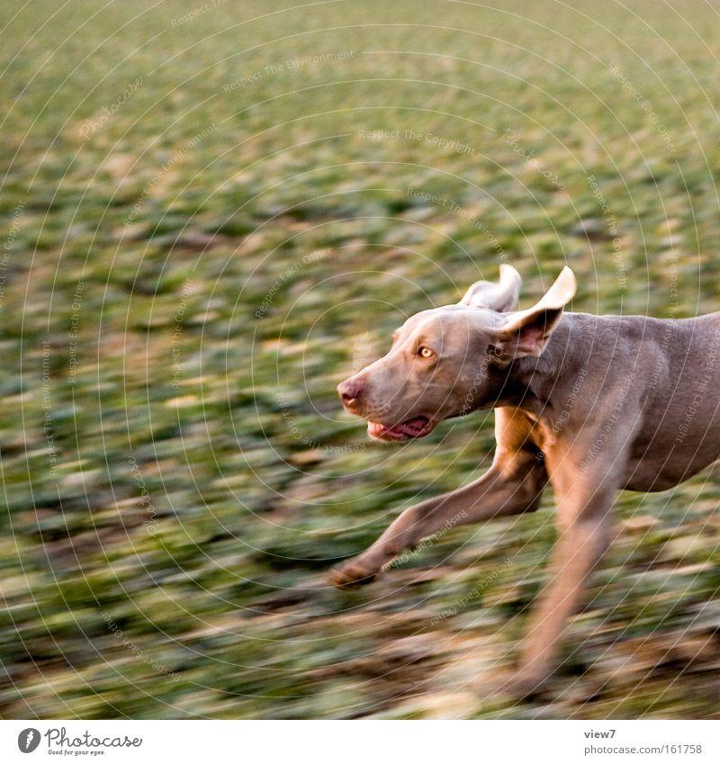 Jagdhund schön Tier Hund Feld laufen rennen Geschwindigkeit Fell Konzentration machen atmen Pfote Säugetier Willensstärke Schnauze