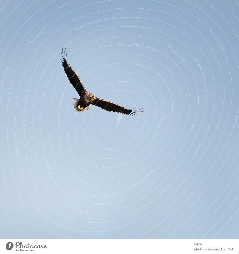 Seeadler Jagd Freiheit Umwelt Natur Luft Himmel Wolkenloser Himmel Klima Schönes Wetter Tier Wildtier Vogel Adler 1 blau Kraft Macht Greifvogel Beute Feder