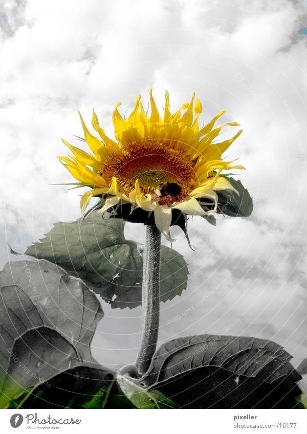 sunflower Blume Sonnenblume Pflanze grau gelb Wolken Himmel