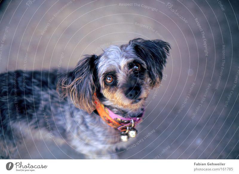 Belle schön Hund Ohr Asien Freundlichkeit Appetit & Hunger Säugetier Erwartung Thailand Vignettierung Halsband Hundehalsband