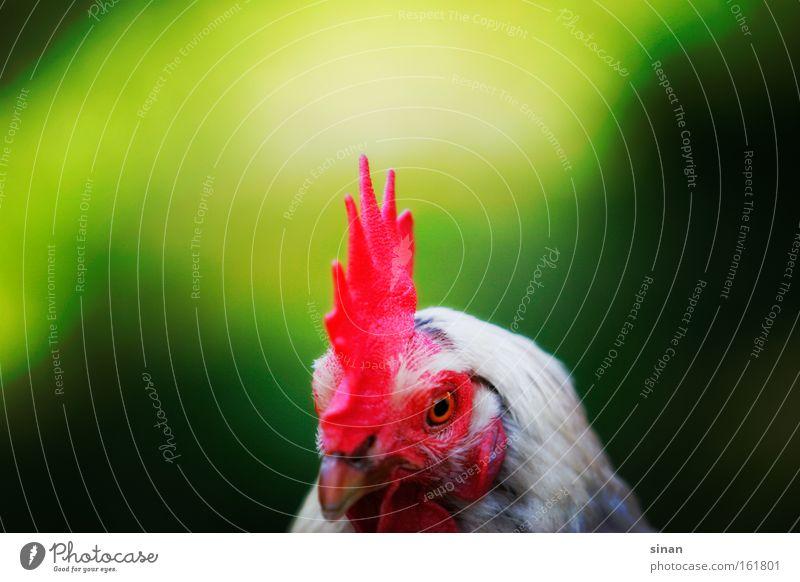 Huhn. Haushuhn Hahn mehrfarbig rot Kamm Schnabel grün Natur Tier Vogel Landwirtschaft Kontrast Freiraum Kopf