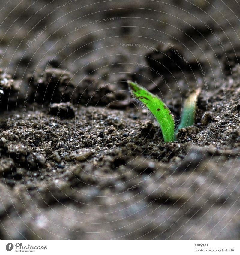 Ursprung Natur grün Pflanze Blatt Leben Frühling Sand Beginn Erde Klima Kräuter & Gewürze Makroaufnahme Samen exotisch Klimawandel Grünpflanze