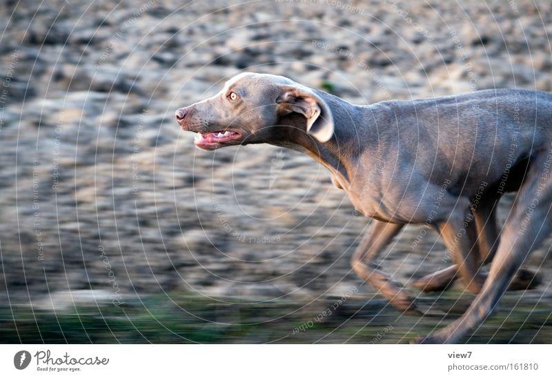 Hatz Hund Jagd Jagdhund rennen Rennsport Laufsport laufen Geschwindigkeit Feld verfolgen Pfote Schnauze Fell Weimaraner Konzentration Säugetier Spielen